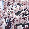 梅まつりに出かけよう!梅の香漂う梅並木「東京近郊の梅まつり」